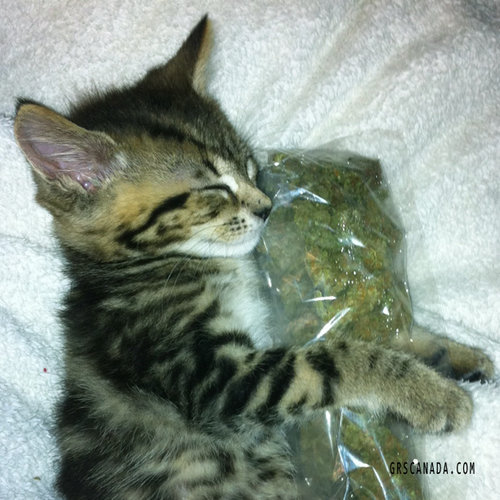 even-cats-love-weed-at-the-green-room-society-in-vancouver-bc.jpg